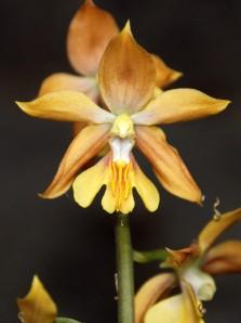 Calanthe Takane Hybrids